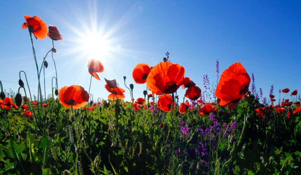 A beautiful photo of poppies, by Corina Ardeleanu available - free high resolution images from Unsplash